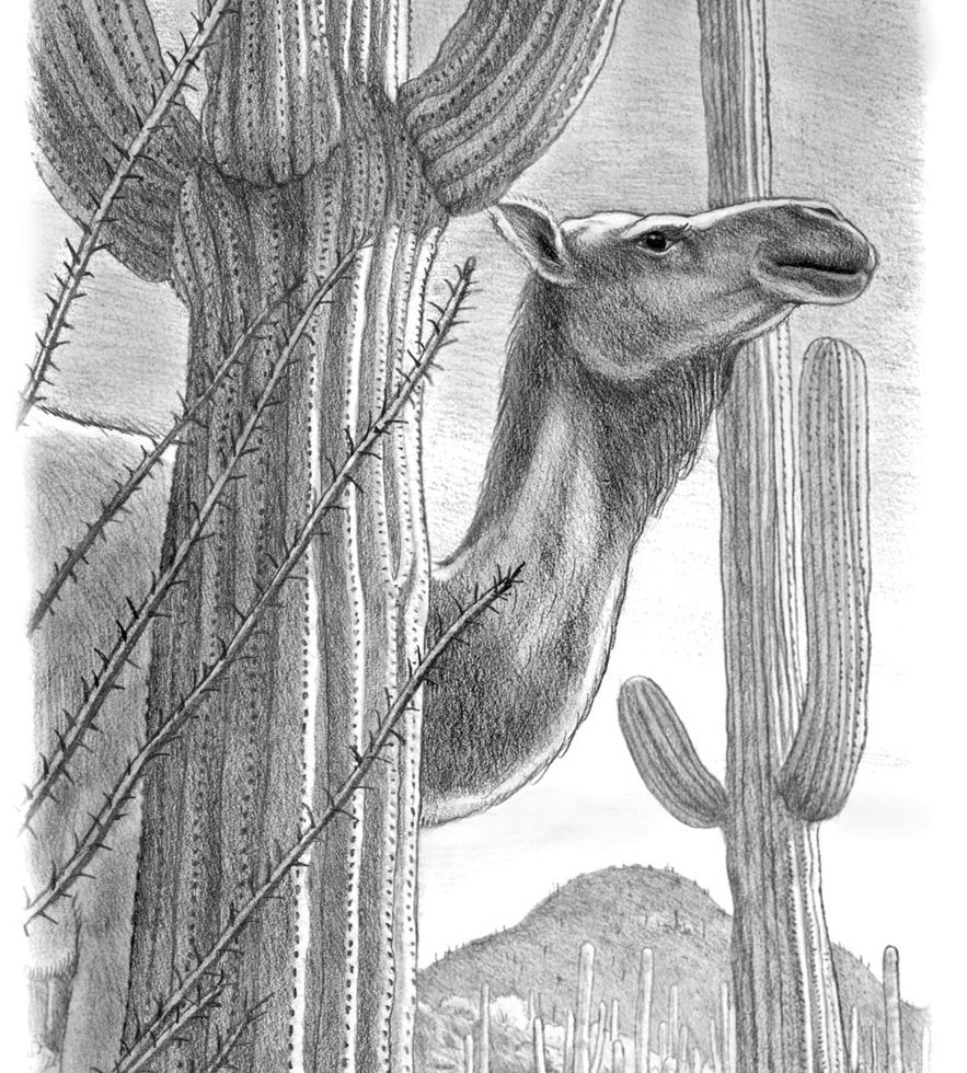 camel and saguaros