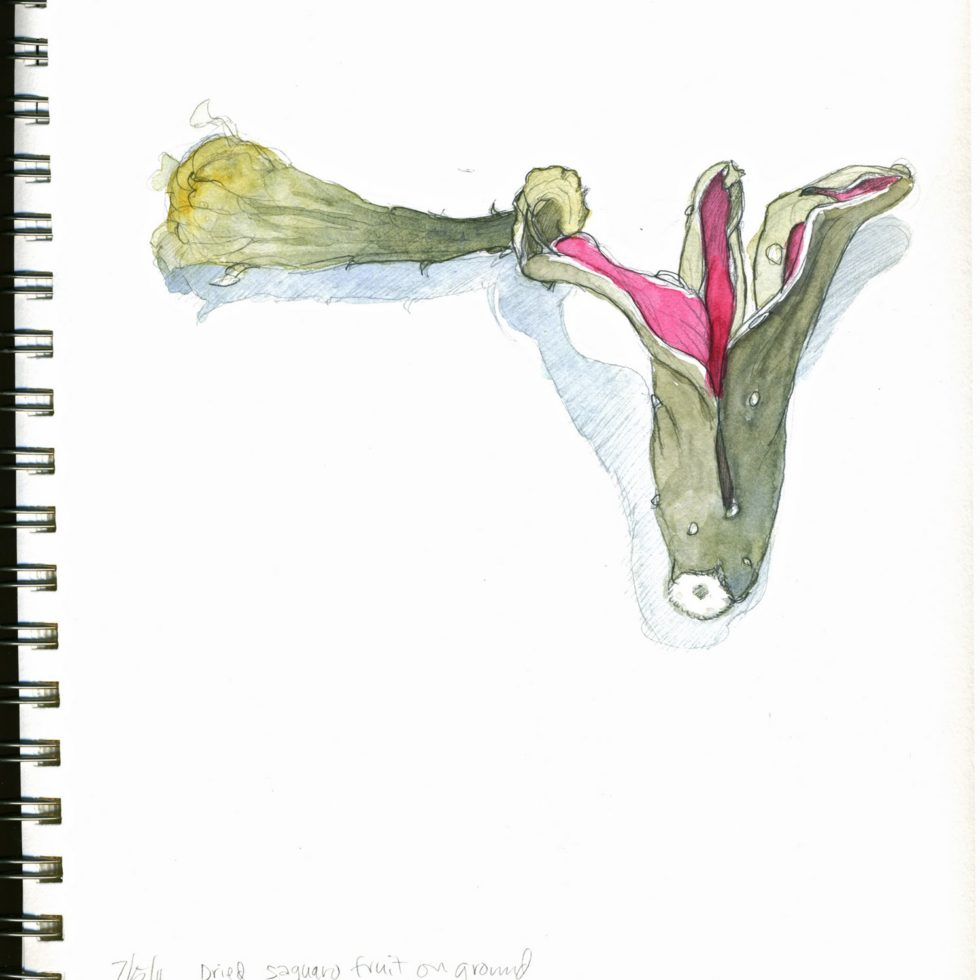 watercolor-fallen saguaro fruit