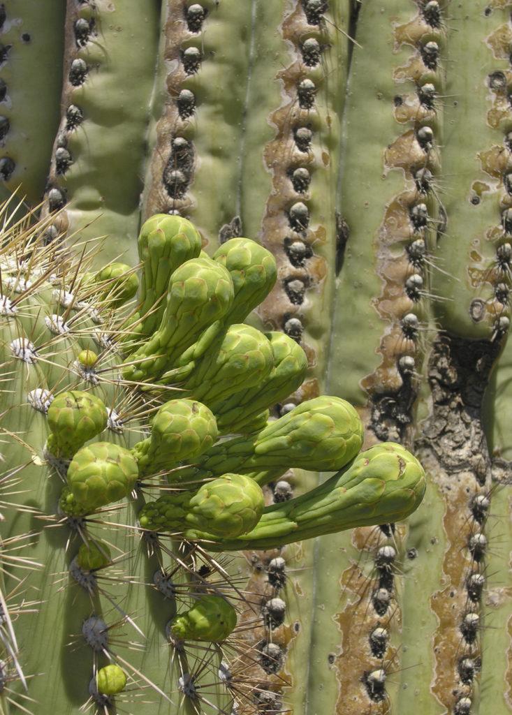 saguaro buds