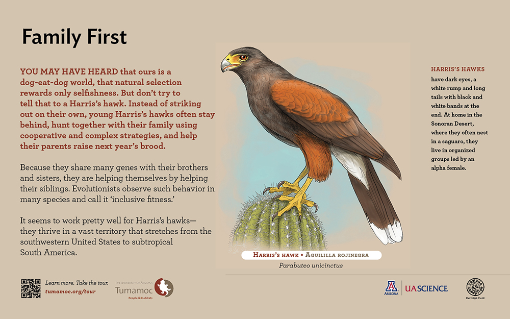 Harris' Hawk, Tumamoc Hill interpretive sign program, art and design by Paul Mirocha