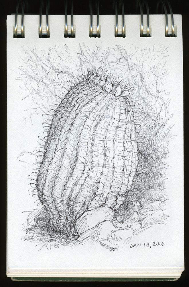 """Barrel Cactus"", ball point pen drawing by Barbra Terkanian"