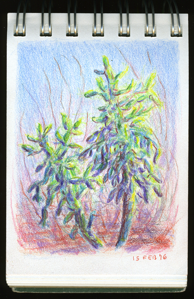 """Cholla Cacti"" colored pencil drawing by Barbra Terkanian"