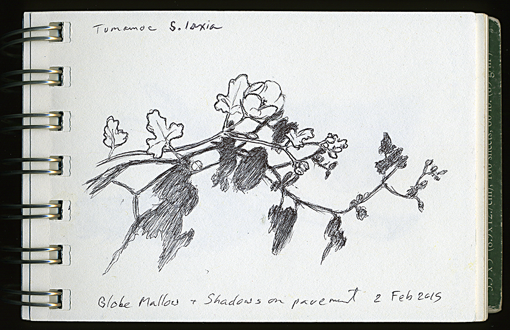 """Globe Mallow and Shadows on the Pavement"", ball point pen drawing by Barbra Terkanian"