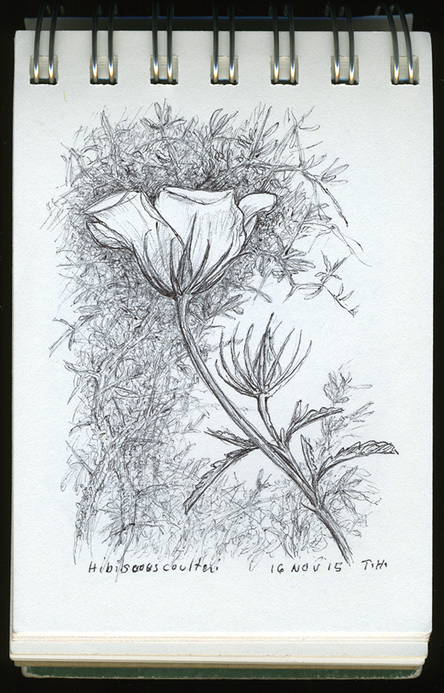 """Hibiscus coulteri, Tumamoc Hill"", ball point pen drawing by Barbra Terkanian"