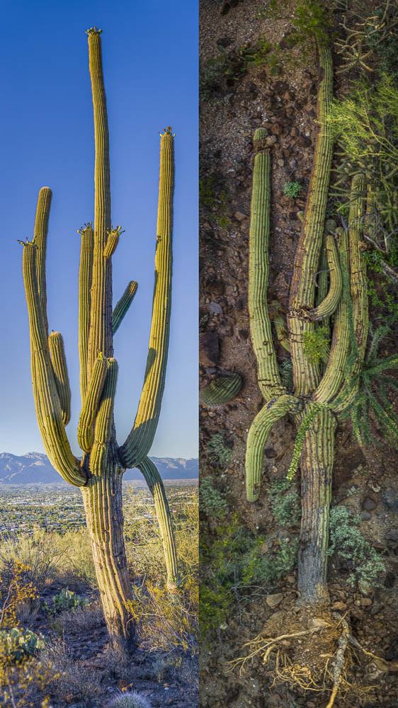 Saguaro SPG5, standing and fallen,