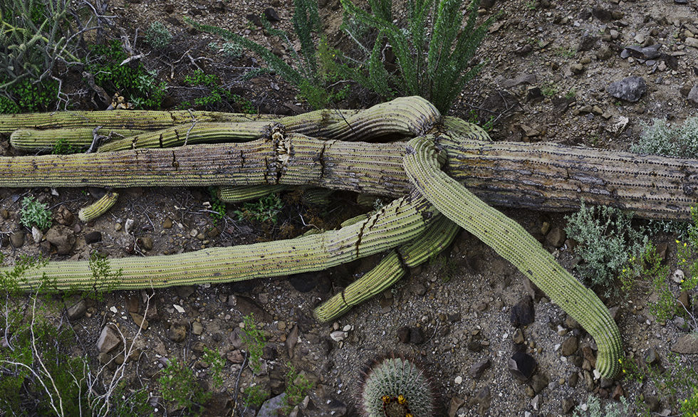 fallen saguaro sgp5 on Tuammoc Hill, photo by Paul Mirocha
