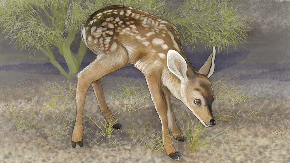 mule deer fawn stands up, illustration by Paul Mirocha