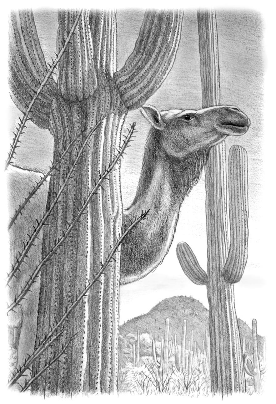 camel and saguaros