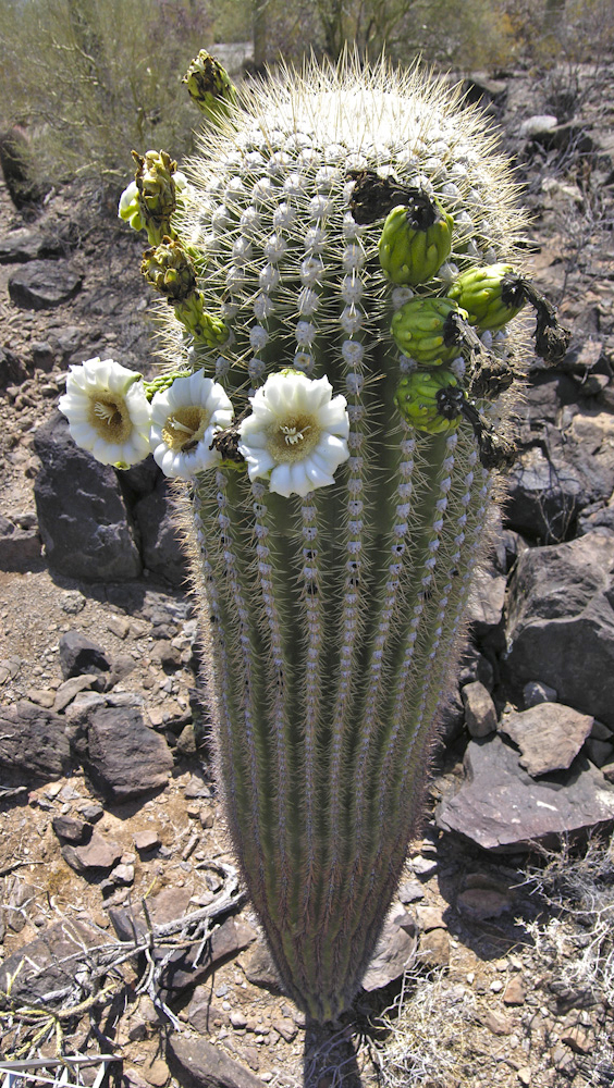 whole saguaro with flowers