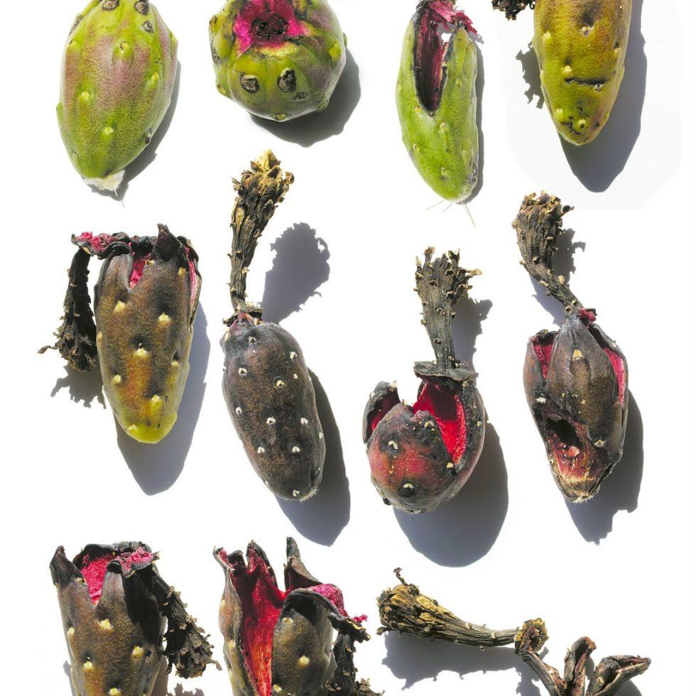 degrading saguaro fruit