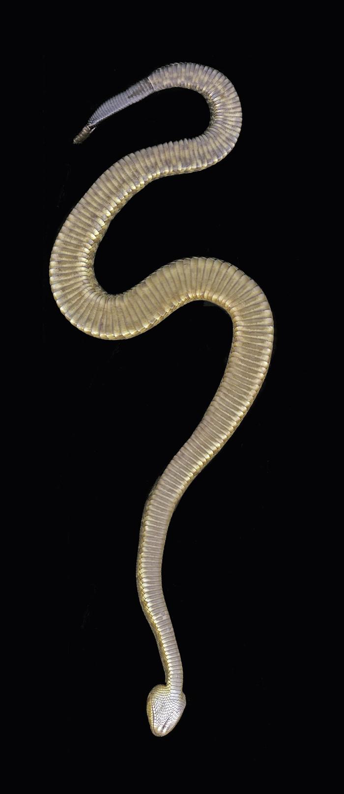 black tailed rattlesnake_ventral scan