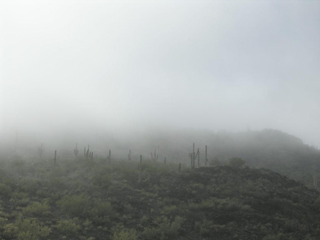 saguaros in the fog