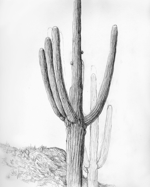 Saguaro sketch, Barbara Kerkanian