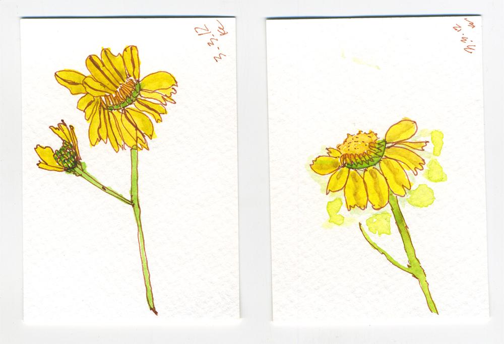 Karen Campesano brittlebush flowers