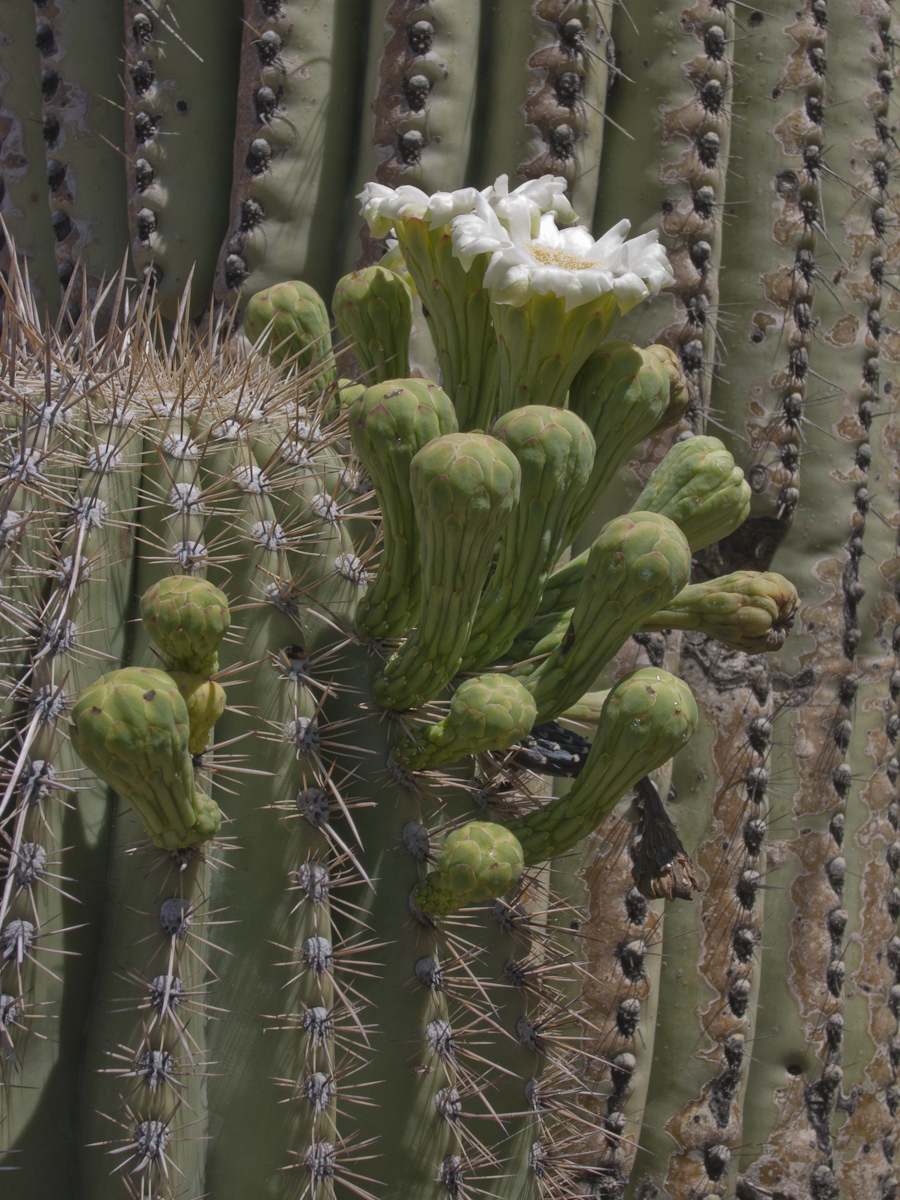 saguaro flower, May 1