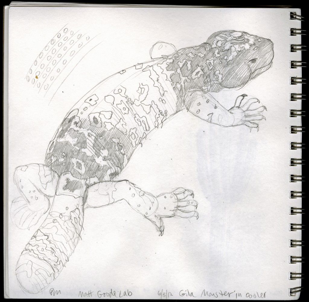 Unfinished Gila monster sketch by Paul Mirocha