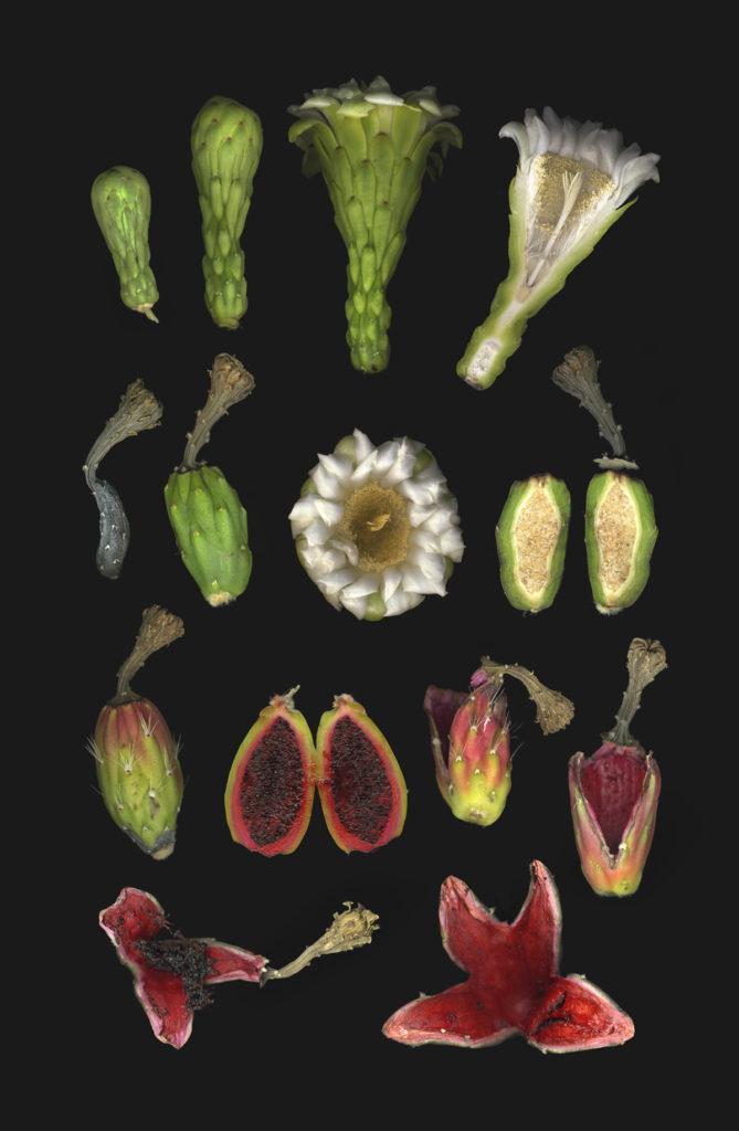 saguaro flower series botaincal plate by Paul Mirocha