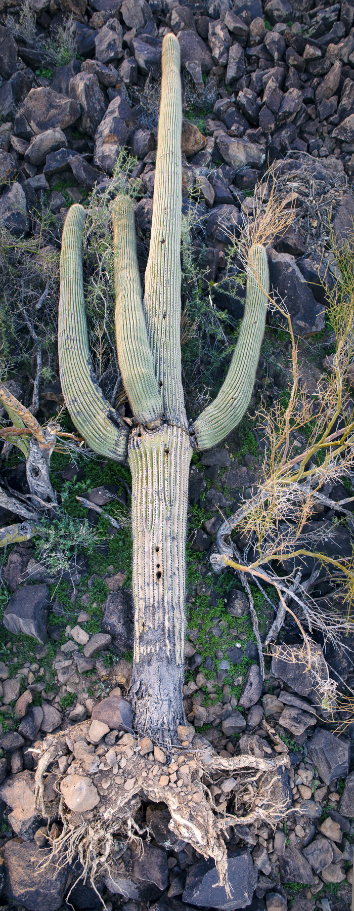 Fallen Saguaro, photo by paul mirocha