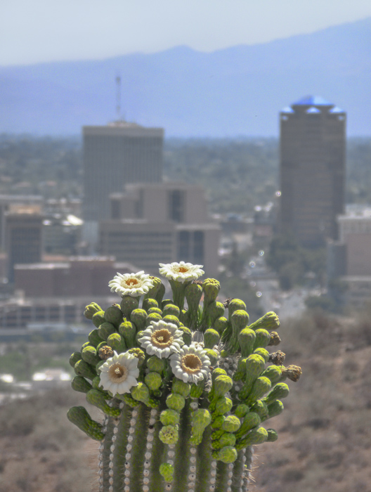 Saguaro flowers and Downtown Tucson
