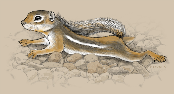 Harris' Antelope squirrel, illustration by Paul Mirocha