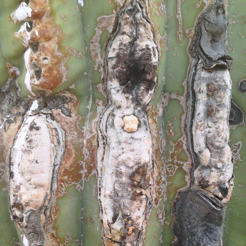 saguaro skin, photo by Paul Mrocha