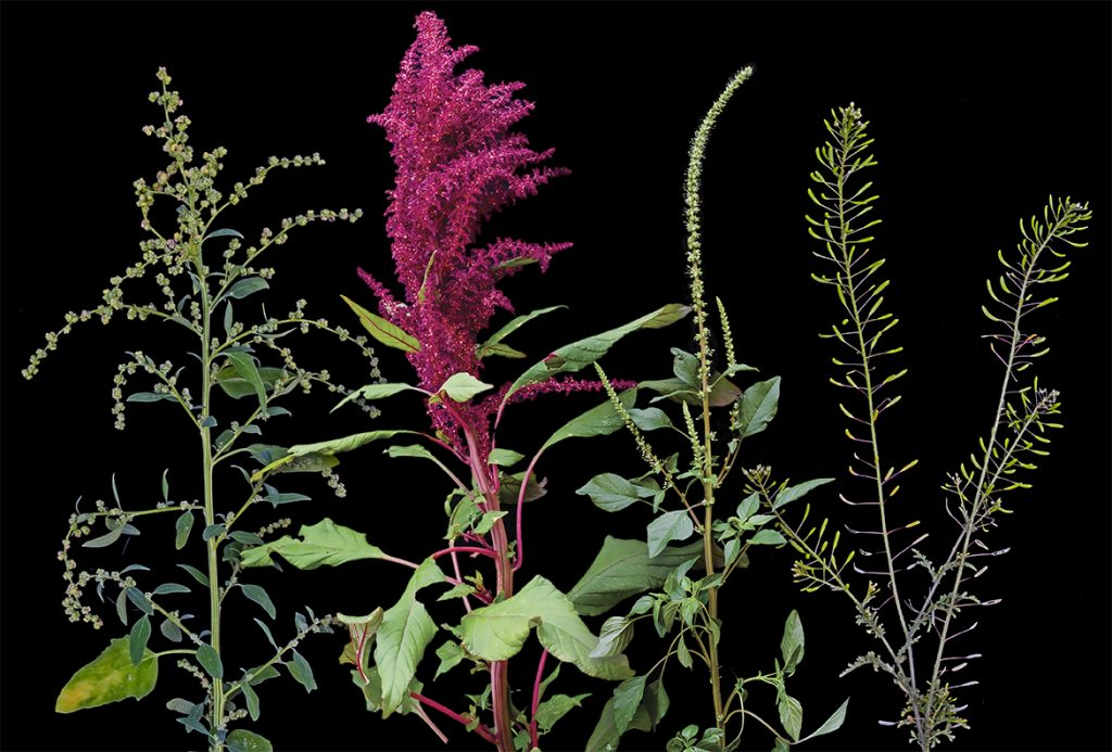 chenopodium-amaranth-tansymustard, photo by Paul Mirocha