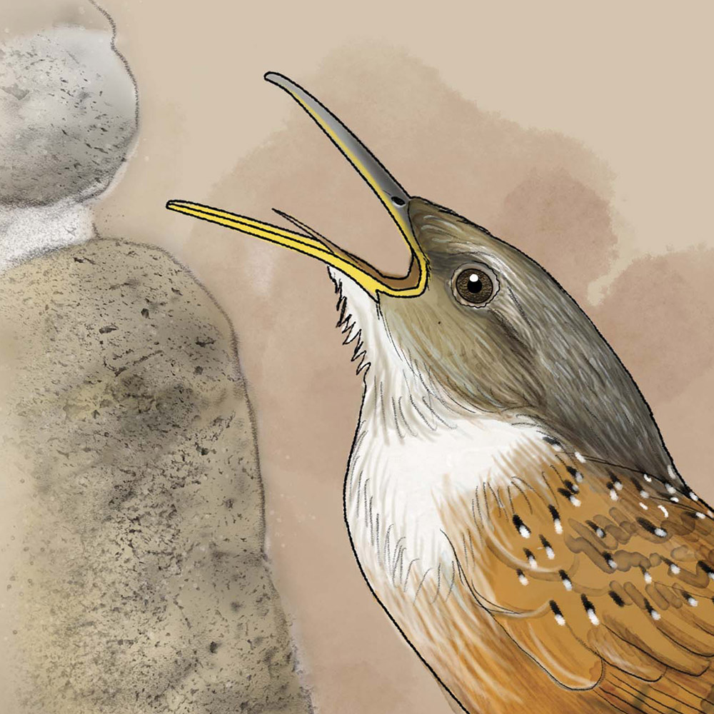 canyon wren illustration by Paul Mirocha