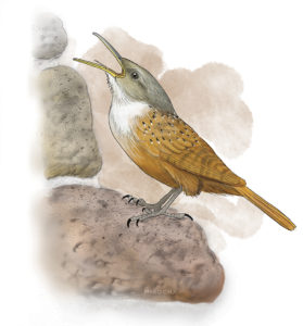 Canyon wren painting by Paul Mirocha