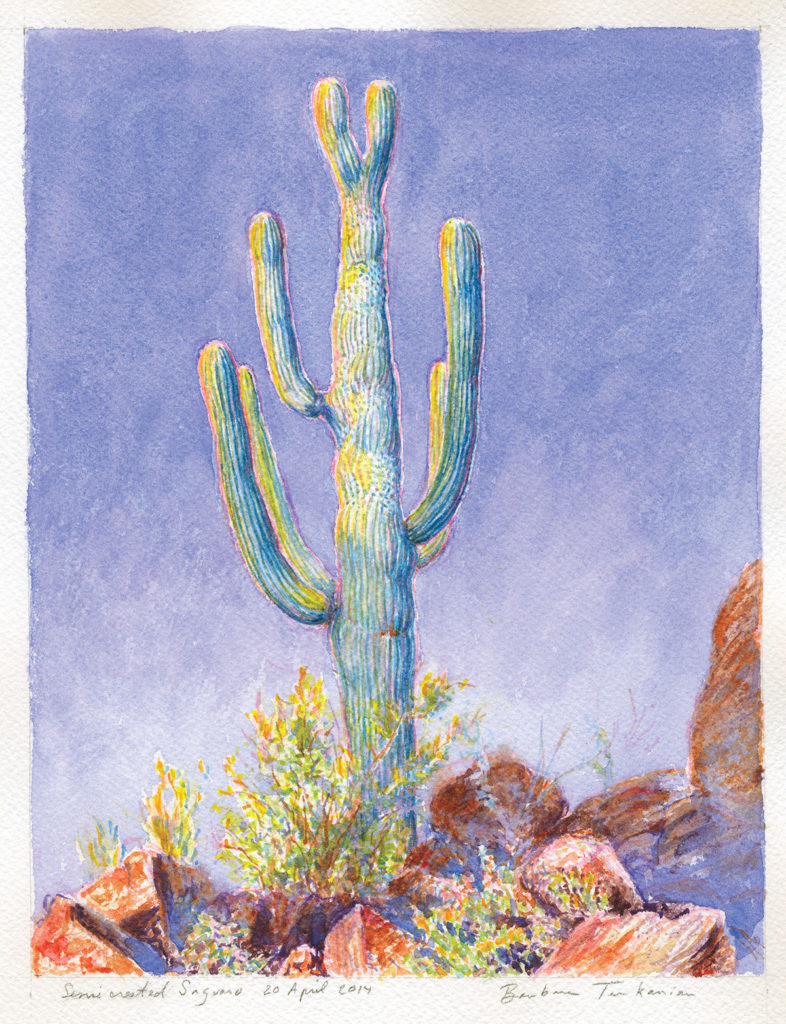watercolor of semi-crested saguaro on Tumamoc Hill