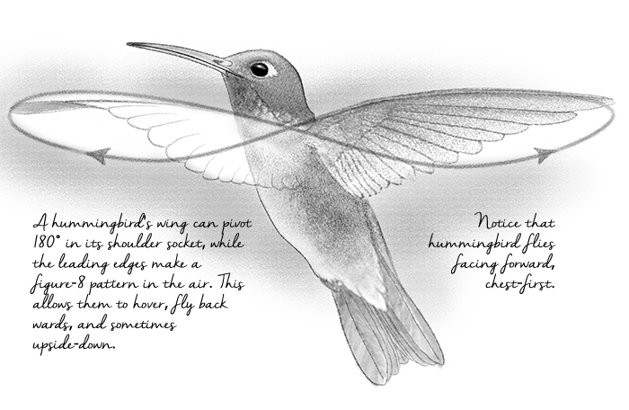 broad-billed hummingbird, illustration by Paul Mirocha