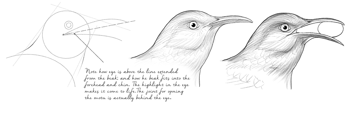 Curved-bill thrasher, illustration by Paul Mirocha
