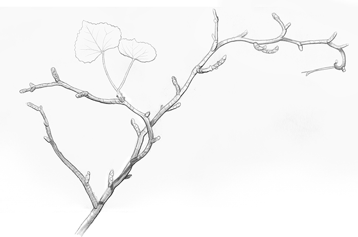 Limber bush, illustration by Paul Mirocha