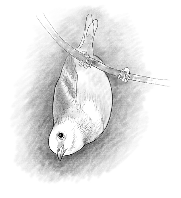 Verdin, illustration by Paul Mirocha