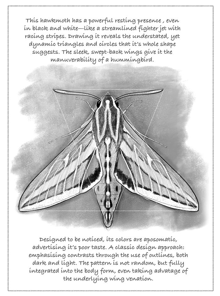 White-lined sphinx moth, illustration by Paul Mirocha