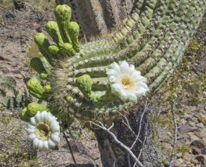 Saguaro arm with flowers