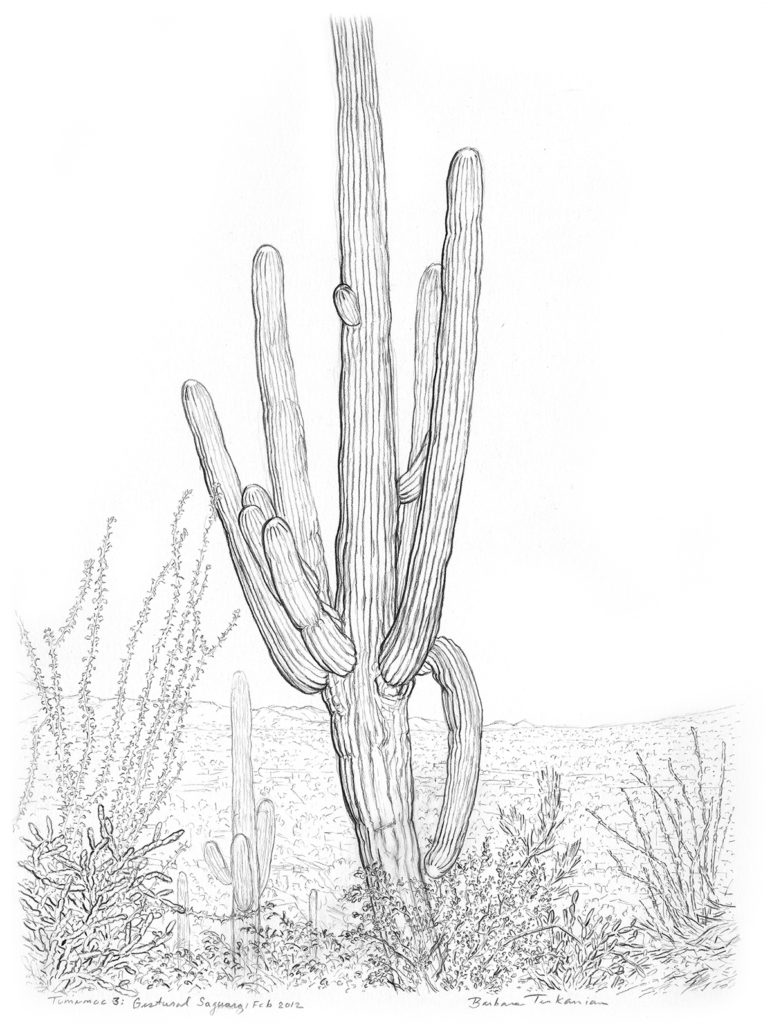 Saguaro SGP5 drawing by Barbara Terkanian on tumamoc hill