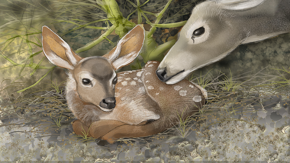 Mule deer fawn with Doe