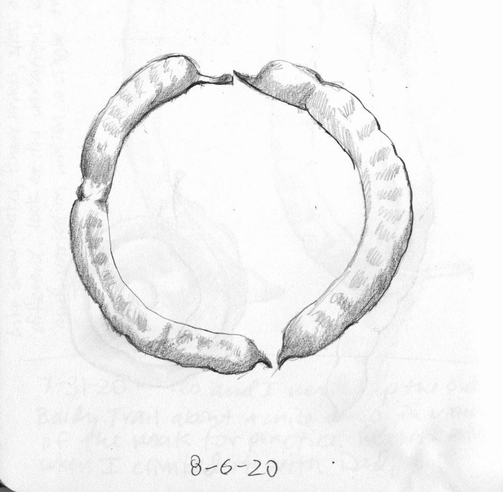 Two Mesquite pods, from Paul Mirocha's sketchbook
