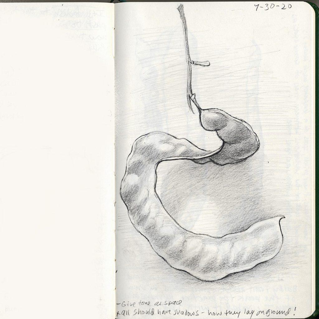 Mesquite pod, from Paul Mirocha's sketchbook