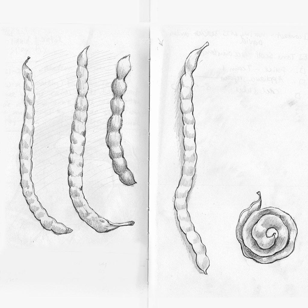 Mesquite pods, from Paul Mirocha's sketchbook