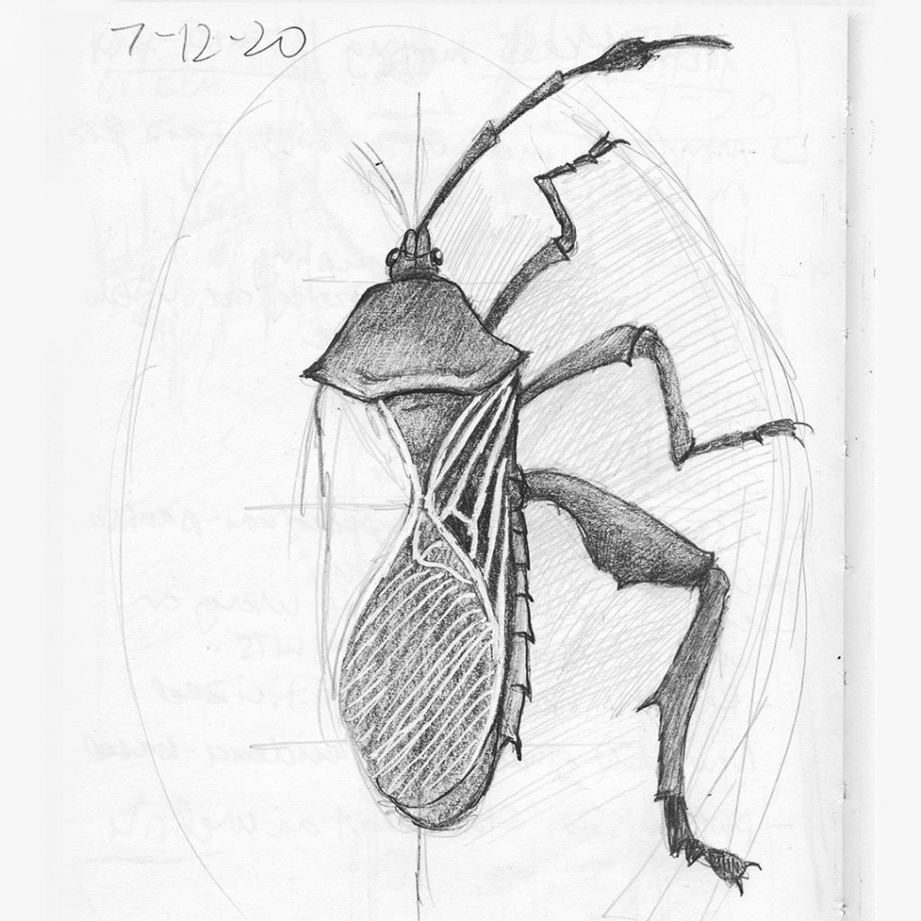 Mesquite bug sketch, drawing by Paul Mirocha